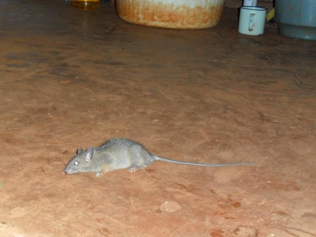 Poza asta cu şobolanul am găsit-o pe Google, vă daţi seama că doar glumesc, nu?