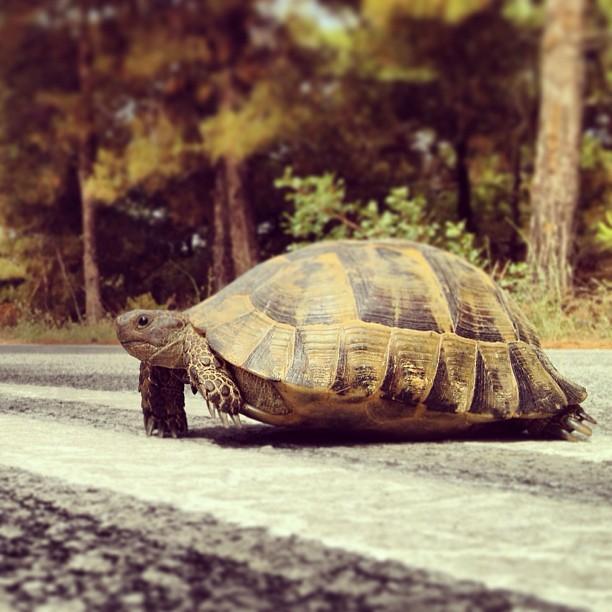 Țestoasa din Thassos